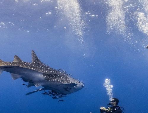 5 fatos sobre os tubarões baleia que você precisa saber!